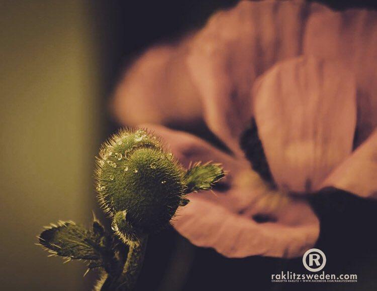 papaverrhoeas  poppy vallmo gotland raklitzsweden flower ig_sweden